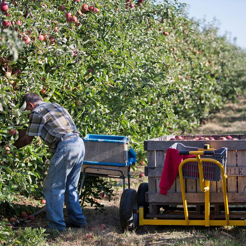 Gargouil : pommes et poires récoltées à la main