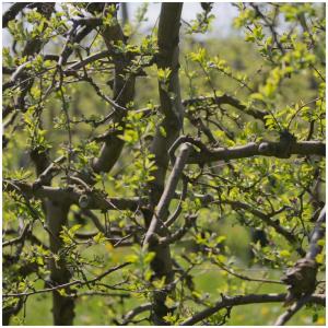 Le printemps est fin là, les premières feuilles ont fait leur apparition 🍃  #springisback#printemps#nature#vergersecoresponsables#charente#lesbeauxjours