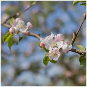 En pleine floraison dans nos vergers 🌱🌞!  Encore quelques semaines avant de pouvoir nous prononcer sur les prochaines Récoltes 🌱  #lafloraison#pommes#vergersecoresponsables#poitoucharentes#spring2021#springtime#instagood#ecoresponsable♻️ #applejuice#familycompany