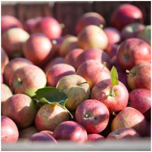 🍏Le saviez-vous ? 🍎 Notre pomme GALA est une variété de pommes à petits fruits rouges à la chair blanche, douce et sucrée, croquante, juteuse et aromatique.  @sebastienlaval 📸 #vergers#cueillette#pommes#fruits#jusdepommes#arboriculture#producteur#golden#applejuice#ecoresponsable#producteurlocal#pomme#jusdefruits