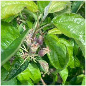 J'élimine les fruits en surnombre, j'assure également une meilleure récolte sur vos arbres fruitiers. Qui suis-je ? 🌱👌  À vous de tentez en commentaire 🤩😁  #nosfruitsontdugoût#lespommes#vergersecoresponsables#fruit#apple#pommes#producteurlocal#ceuxquifontlesfruits#arboriculture