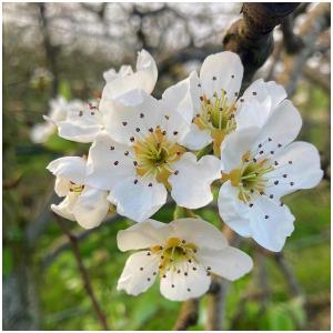 Les floraisons s'achèvent du côté de nos poiriers 🌸🍐  #vergersecoresponsables#poiriers#floraison#floraisonprintanière#fruits#fruit#leplaisirdufruit#conférence#madeinfrance