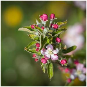 Malgré les températures catastrophiques de ces derniers jours, la floraison se poursuit dans nos vergers 🌱🍎.  @sebastienlaval 📸 #floraison#bellefleur#pommierenfleurs#pommier#natural#productionlocale#gargouil