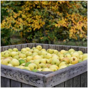 Notre pomme GOLDEN est une variété de pommes à gros fruits jaunes à la chair blanche, parfumée, fruitée, riche en jus et au goût délicat ; la pomme Golden est à croquer !  À la fois très sucrée et très acidulée avec des arômes puissants, elle saura compléter vos petits déjeuners, desserts et goûters. Un véritable délice !🍎🍏 #applefruit#pommes#vergers#vergersecoresponsable#vergersfrancais#golden#fruitfrance