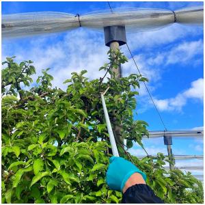 L'installation des diffuseurs anti-carpocapses est en cours dans nos vergers 🌱.  #ecoresponsable#vergers#fruits#pommes#arboriculture#ceuxquifontlesfruits#naturelover
