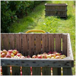 Des pommes par tonnes dans nos vergers ! 🍎  @studio_onze_production 📸 #larecolte#cueillette#cueillettedepommes#jusdefruits#producteur#charroux#naturel#applejuice#gala#golden#gargouiljus